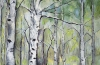 Birch Forest~Spring 2
