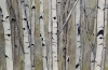 Birch and Aspens