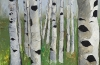 Birch Forest~Summer